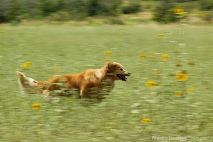 Golden retriever running through field of wildflowers, Prescott National Forest, Arizona
