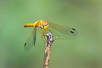 362750010 a wild female spot-winged meadowhawk sympetrum signiferum perches on a dead stick in las cienegas state natural area santa cruz county arizona united states