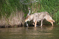Gray wolf walks along the Brooks river fishing for salmon, Katmai National park, Alaska.