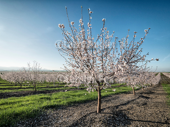 Almond trees in bloom during spring, Dunnigan Hills, Calif.