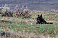 The gray wolf (Canis lupus) will eat its fill at a carcass and then wander off to watch and snooze. Sometimes the subordinate pack members just have to wait for an opening. Here a dominate member of Yellowstone's Canyon pack is seems to be simply observing.