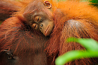 Borneo Orangutan (Pongo pygmaeus) female with sleeping baby, Camp Leakey, Tanjung Puting National Park, Kalimantan, Borneo, Indonesia