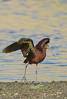 550100003 a wild glossy ibis plegadis falcinellus in breeding plumage performs a wing stretch along the los angeles river in the sepulveda basin in los angeles county california approximately 1500 miles west of its normal range