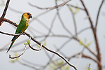 Bonaire, Netherlands Antilles; Brown-throated, or Caribbean Parakeet (Aratinga pertinax) resting in a tree near Goto Meer Lagoon , Copyright © Matthew Meier, matthewmeierphoto.com All Rights Reserved