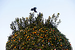 A citrus tree and birds at dusk in Sun City, Arizona December 11, 2010...2010 marks the 50th anniversary of Sun City, America's first retirement city that remains the largest today with more than 40,000 residents 55 and older.