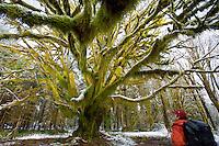 Secret Maple - Quinault River Basin/Olympic National Park - Washington State