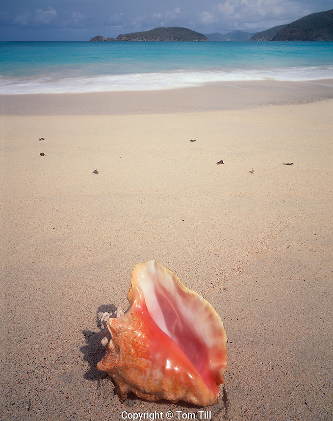 Queen Conch at Cinnamon Bay, Virgin Islands National Park, St. John,  U.S. Virgin Islands