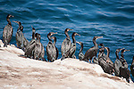 La Jolla Cove, La Jolla, California; several Brandt's Cormorant (Phalacrocorax penicillatus) birds standing on the cliffs overlooking the Pacific Ocean