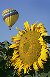 Hot air balloon sails over a field of sunflowers on a summer afternoon in central valley California.