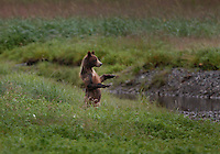 """A young juvenile grizzly bear likely on his own for the first year frolics and fishes for salmon at Pack Creek on Admiralty Island.  Pack Creek runs through an open intertidal meadow before spilling into the ocean. It has the highest concentration of grizzly bear in all of Southeast..Biologists have estimated that the Alaska Grizzly population is holding strong at about 40,000 individuals, about 40 times the number in the rest of the United States...Grizzlies, called """"brown bears"""" when they live near the coast, are wild creatures. But seasonal feeding patterns make it possible for relatively predictable viewing possibilities. Particularly in regard to coastal brown bears, which depend on the annual salmon runs as a mainstay for their diets."""
