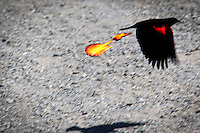 Flames from an earlier shoot have been added to a flyby by a Redwinged blackbird.  Friday Fun.