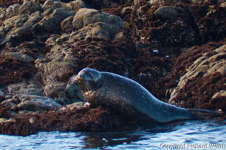 A harbor seal on the rocky outcrops off of Bean Hollow State Beach, CA.
