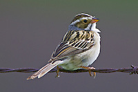 Clay-coloured Sparrow perched on barbed wire