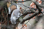 A grey squirrel in Greenwich Park, London
