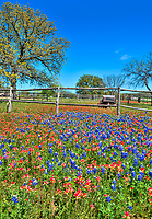 Another great image of bluebonnets and indian paintbrush with an old wagon along the roadside in the Texas Hill Country.