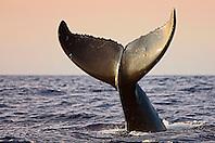 Humpback Whale, lobtailing, Megaptera novaeangliae, Hawaii, Pacific Ocean.