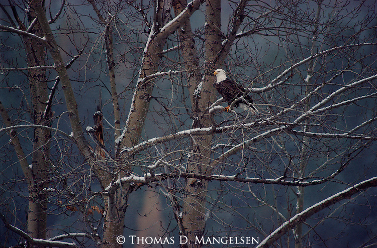 A bald eagle perched in a tree in November in Glacier National Park, Montana.