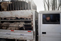 Cows for sale arrive at the Kashgar Sunday Animal Market in Kashgar, Xinjiang, China.