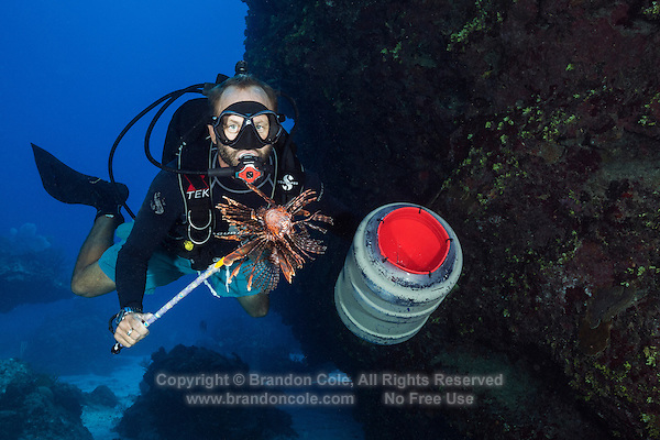 TR5662-D. Scuba diver has speared a Lionfish (Pterois volitans) and prepares to put it in a bucket. This lionfish, called the Red Lionfish or the Common Lionfish, is widespread throughout its native waters of the tropical Indo-Pacific oceans, and now in the Western Atlantic and Caribbean too as a result of introduction. It is proving to be a very destructive invasive species as it is a voracious predator, and has no natural predators in the Atlantic and Caribbean. <br /> Photo Copyright &copy; Brandon Cole. All rights reserved worldwide.  www.brandoncole.com