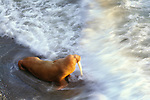 Walrus in surf, Cape Peirce, Togiak National Wildlife Refuge, Alaska, USA