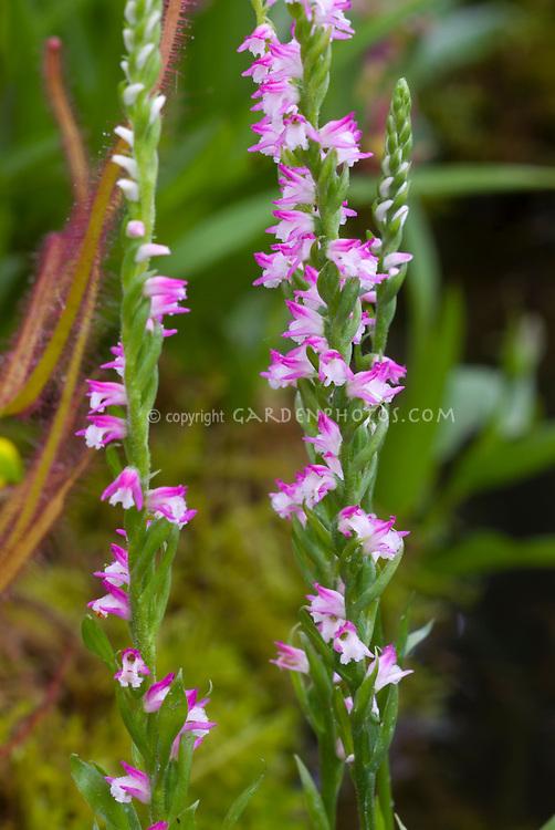 Spiranthes sinensis Austral Ladies Tresses Orchid