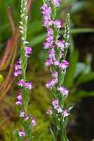 Spiranthes sinensis Austral Ladies Tresses Orchid