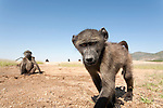 The Chacma baboon (Papio ursinus) is a large monkey with a dog-like face and large, prominent canines. These features give it a more aggressive apperance than other primates. They are extremely common in central Namibia and also live in the remote Erongo Mountains. The baboon is very inquisitive and can easily destroy a camera trap, for example.