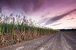 Cane field at twilight.  Mossman, Queensland, Australia