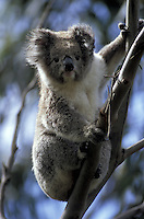 Koala.Phascolarctos cinereus.Otway Natl. Park.Great Ocean Road.Victoria.Australia