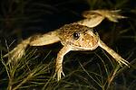 Frog laying in pond, Tomopterna braviceps, Bandhavgarh National Park.India....