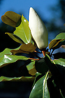 FLOWERING TREES AND SHRUBS<br /> Magnolia Bud<br /> The Southern Magnolia is an evergreen, its broad ovate leaves do not change color and fall.