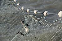 Coho Salmon in Gill Net at Copper River Delta, Cordova, Alaska, US