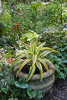 Dracaena deremensis Lemon Lime houseplant in cement garden container outside in the garden