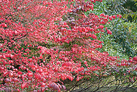 Euonymus alatus Burning Bush in fall color showing almost entire shrub
