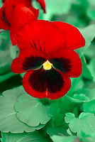 Viola Awkwright's Ruby, red cornuta type pansies pansy flower, red and black bicolor