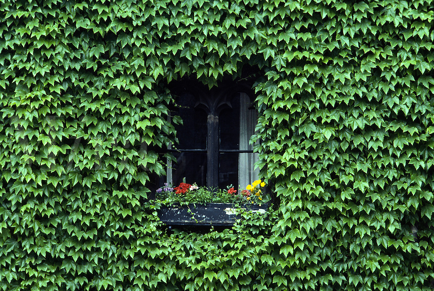 Ivy wall and window