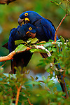 Many parrots, especially the macaws, are monogamous, and pairs may mate for life.  The long relationship is often cemented by regular allogrooming and the sharing of food. Hyacinth macaws are large birds (90 to 100 centimeters in length) weighing more than 1.5 kilograms.  Their coloring is a spectacular violet-blue with a bright yellow bare eye-ring and a yellow crescent-shaped lappet next to their lower mandible.