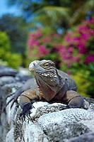 Iguana, Little Cayman, Cayman Islands