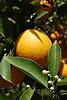 Ripe orange fruit and white blossoms<br /> <br /> Naranja madura y azahares<br /> <br /> Reife Orange und wei&szlig;e Orangenbl&uuml;ten<br /> <br /> 3008 x 2000 px<br /> 150 dpi: 50,94 x 33,87 cm<br /> 300 dpi: 25,47 x 16,93 cm
