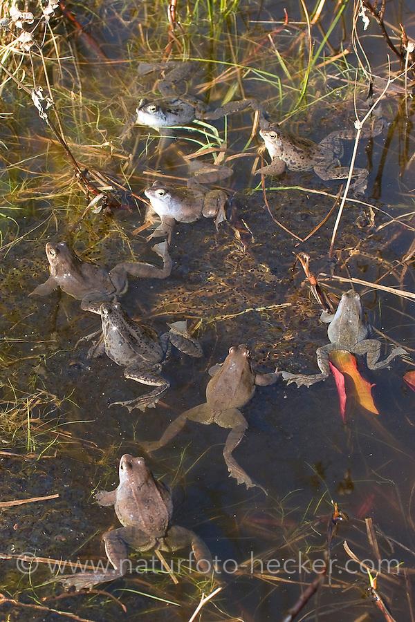 Moorfrosch, Moor-Frosch, Moor - Frosch, zur Paarungszeit, Laichzeit, mit Eiern, Laich, Laichklumpen, Männchen intensiv blau gefärbt, Hochzeitskleid, Rana arvalis, Moor Frog