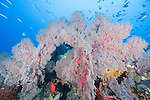 Great Barrier Reef, Australia; an aggregation of fusilier fish swimming over a large pink sea fan on the coral reef