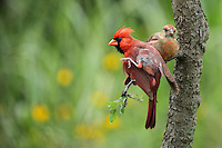 This Cardinal's taking a 'time out' from parenting for some preening..