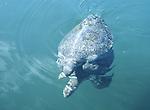 mating green sea turtles in Elizabeth Bay