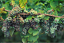 Gew¸rtztraminer grapes on vine; Foris Vineyards, Cave Junction, southern Oregon.