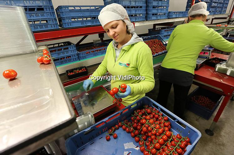 Foto: VidiPhoto..'s Gravenzande - Oogst en verwerking van trostomaatjes bij tomatenkwekerij 't Woudt in 's Gravenzande. De tomaatjes worden verhandeld onder de namen Chica en GoldenRed..