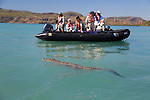 Saltwater Crocodile swimming around a group of zodiacs with tourists in the Hunter River, The Kimberley, Western Australia
