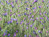 Foraging Borage (Borago officinalis)