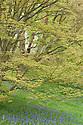 Golden Shirasawa maple (Acer shirasawanum 'Aureum' syn. Acer japonicum 'Aureum') underplanted with bluebells, mid April.
