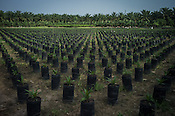 New planted saplings are seen in the nursery of  the Kerasaan palm plantation in Sumatra, Indonesia. Photo: Sanjit Das/Panos