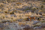 South American Fox, Patagonia, Los Glaciares National Park, Argentina